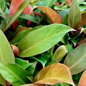 PHILODENDRON RED