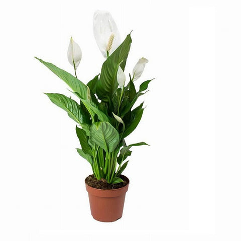 Spathiphyllum (Peace Lily Plant)