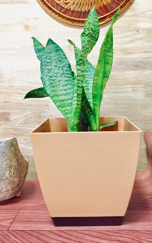 snake plant with plastic pot combo
