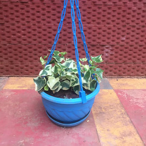 English ivy variegated hanging plant
