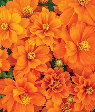 cosmos orange seeds