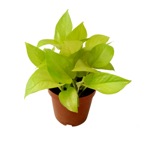 money plant gold mini