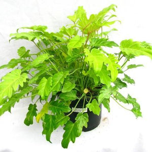 philodendron xandu golden