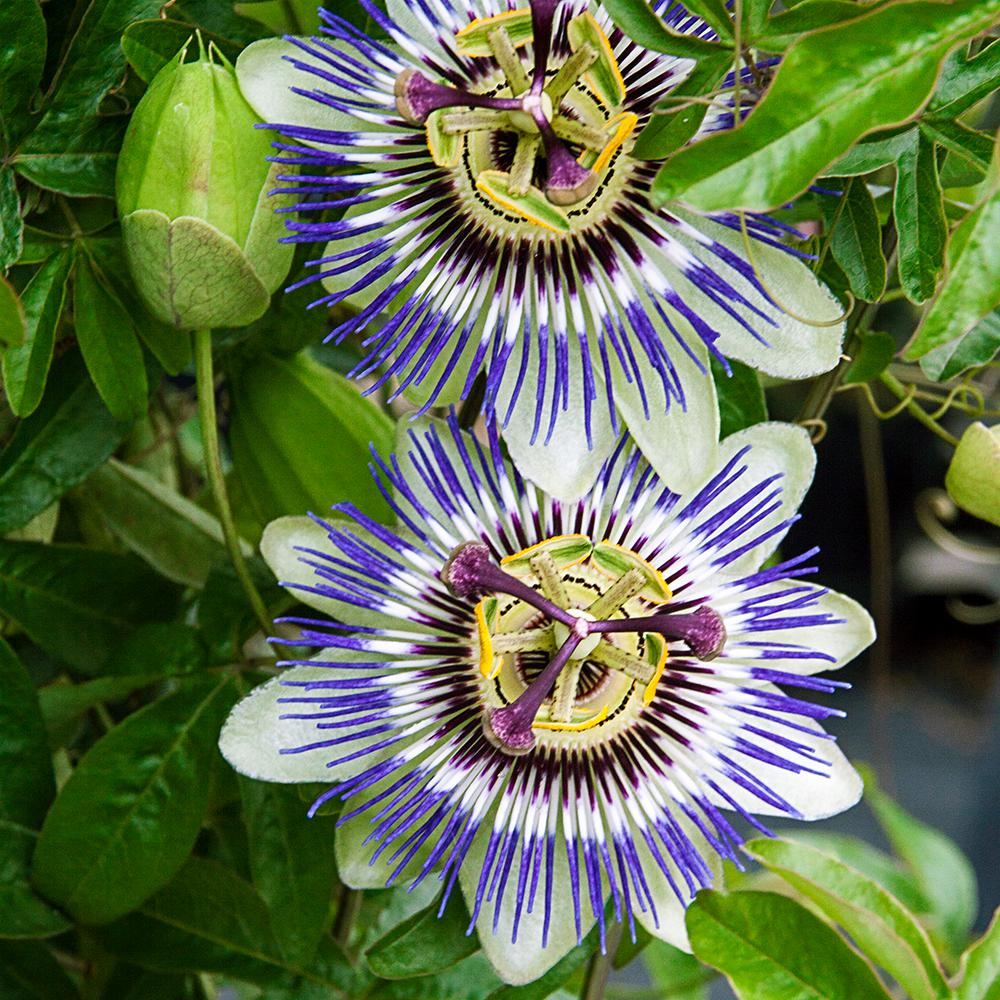 passion flower plant / passiflora