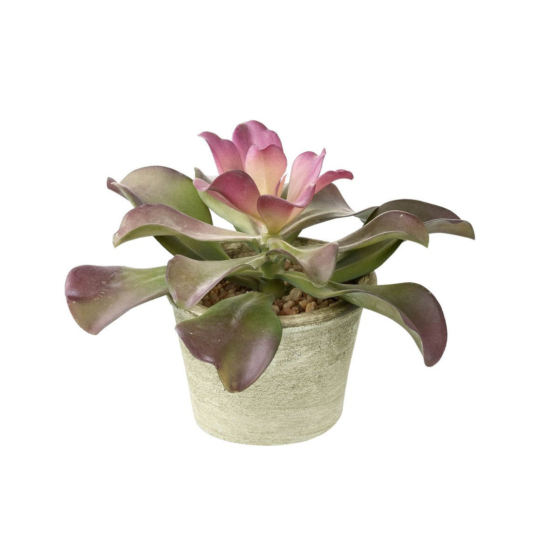 Echieveria potted plant