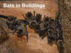 Bats in Buildings