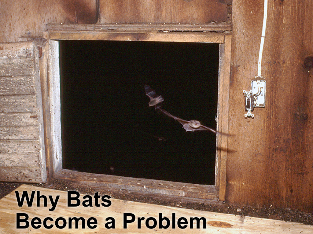 Why Bats Become a Problem and What is a Bat Exclusion?