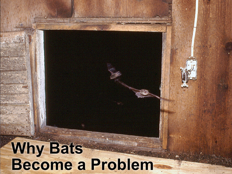 Why Bats Become A Problem And What Is A Bat Exclusion