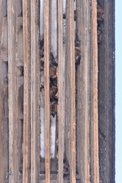 Bats in a bat house