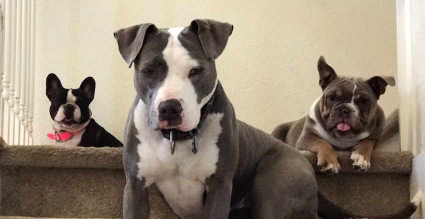 NorCal Bully Breed Rescue - Rescue of the Month, February 2018