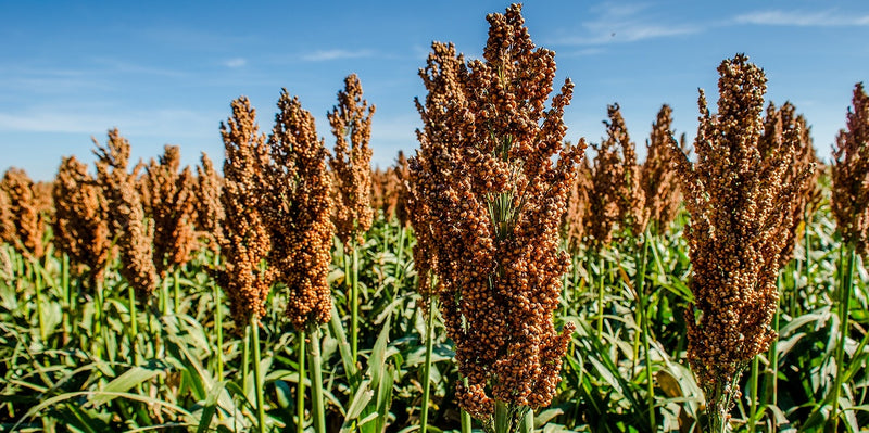 GRAIN SORGHUM DERIVED BIOFUELS