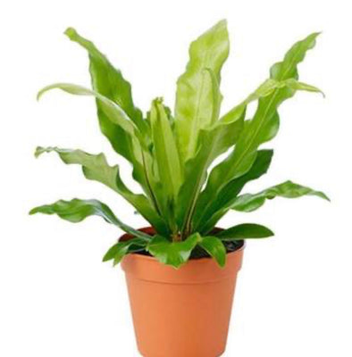 "6"" Birds Nest Fern"