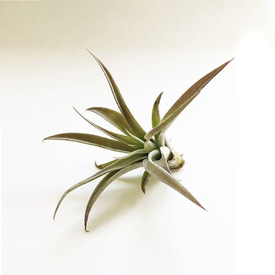 Harrissii Air Plant