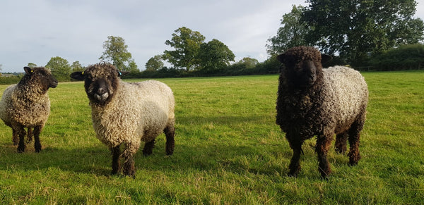 Lincoln Longwool - Washed Black Lincoln Longwool lambs Fleece (locks)