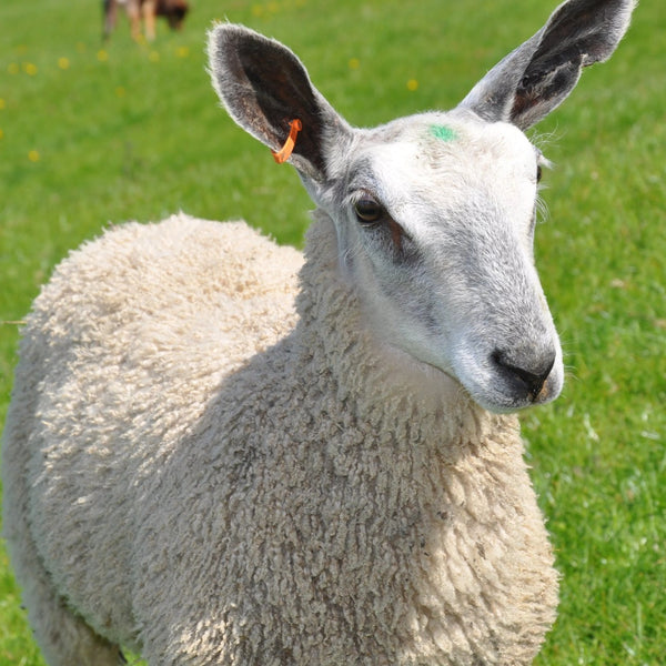 Rare Breed Wensleydale and Bluefaced Leicester: Natural (DK/Light Worsted) 50g (1.76 oz)
