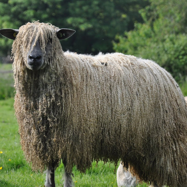 Rare Breed Wensleydale and Bluefaced Leicester: Natural (DK/Light Worsted)