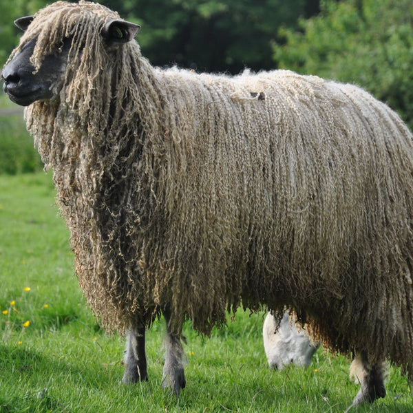 Rare Breed Wensleydale and Bluefaced Leicester: Cotswold Stone (DK/Light Worsted)