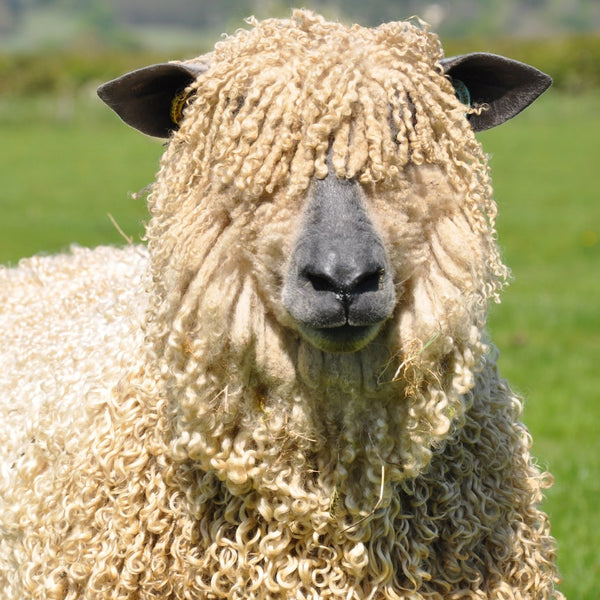 Rare Breed Wensleydale: Natural (Aran/Worsted Weight) 50g (1.76 oz)