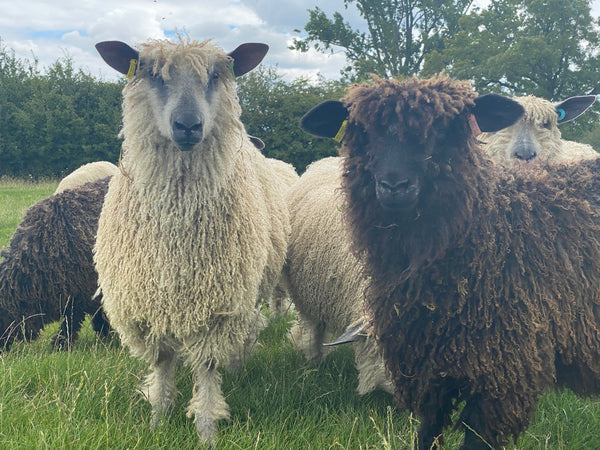 Black Wensleydale lambs locks (Raw Wool/fleece)