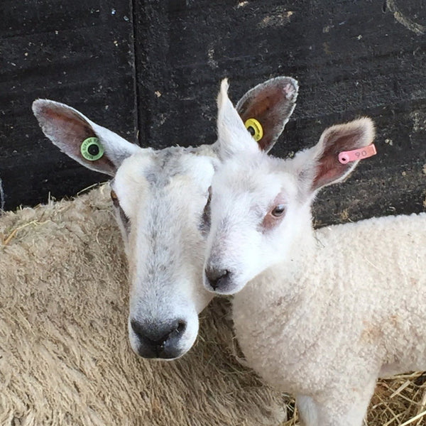 Rare Breed Wensleydale and Bluefaced Leicester: Sunrising Hill (DK/Light Worsted)