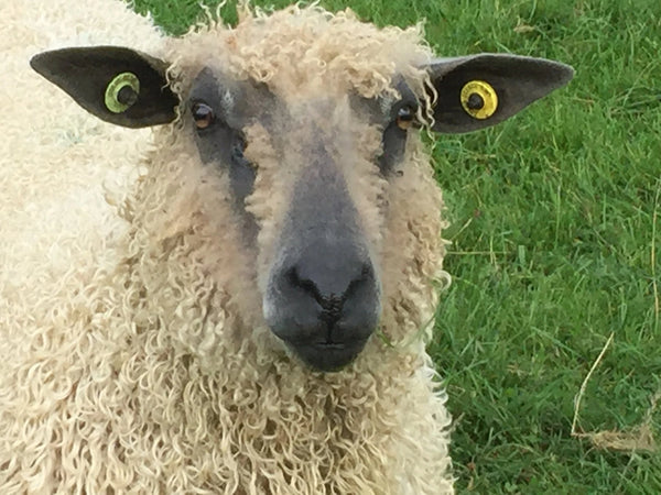 Rare Breed Wensleydale and Bluefaced Leicester: Tangerine (Big Wool/Bulky)