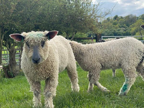 Silver - Wensleydale Lambs - Hand Dyed locks/fleece