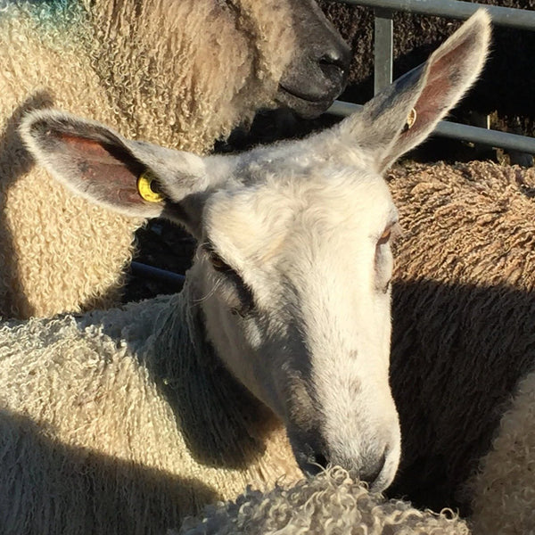 Rare Breed Wensleydale and Bluefaced Leicester: Amber (Big Wool/Bulky)