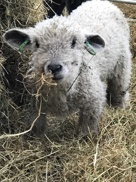 Little Ed - our adopted Wensleydale Wether