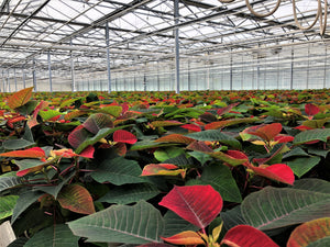 Grow Healthy and Colorful Poinsettias to Brighten Up Your Holiday Season
