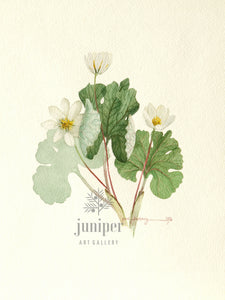 Blood Root (reproduction from original watercolor by Paul J Sweany)