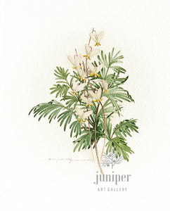 Dutchman's Breeches (reproduction from original watercolor by Paul J Sweany)