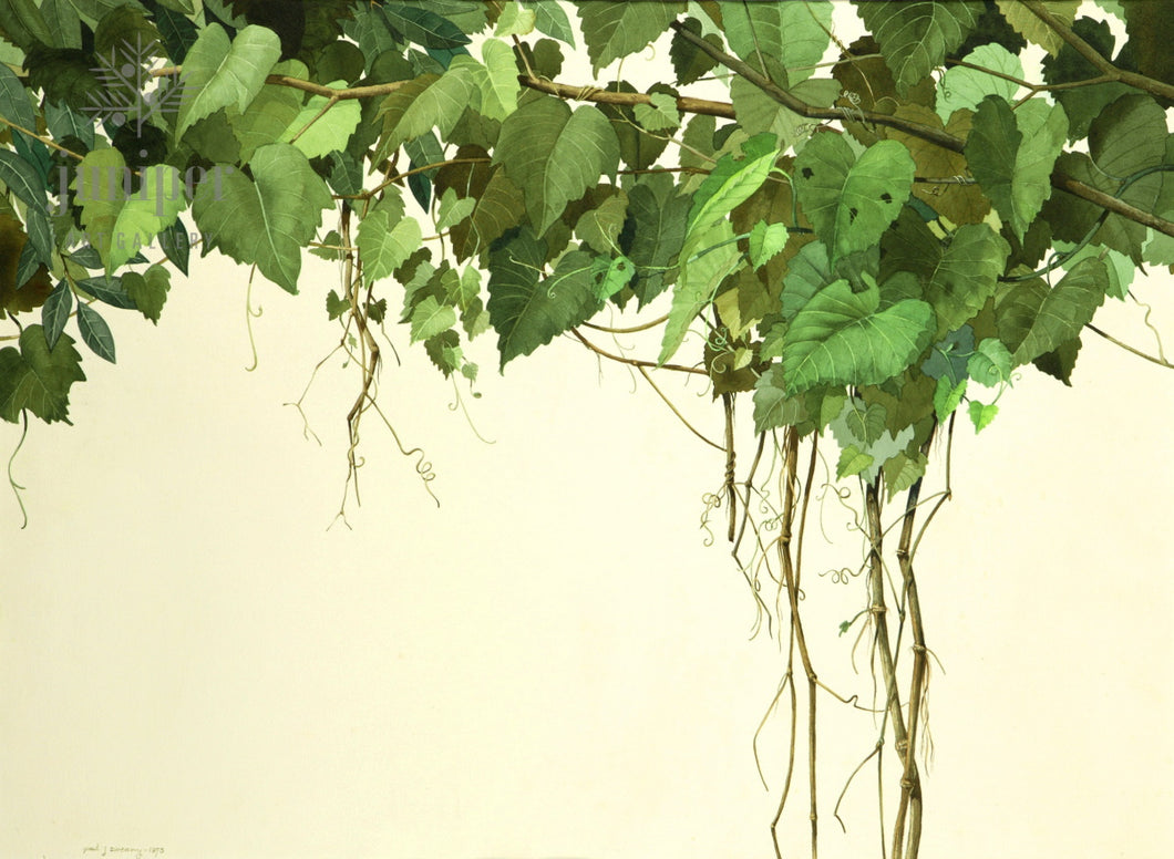 Grapevines (reproduction from original watercolor by Paul J Sweany)