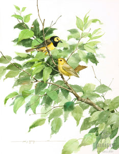 Hooded Warblers (reproduction from original watercolor by Paul J Sweany)