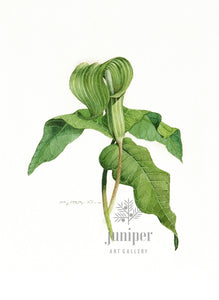 Jack in the Pulpit (reproduction from original watercolor by Paul J Sweany)