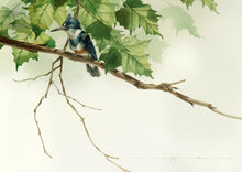 Female Belted Kingfisher (reproduction from original watercolor by Paul J Sweany)