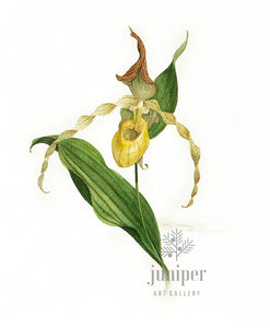 Lady Slipper (reproduction from original watercolor by Paul J Sweany)