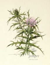 Milk Thistle (reproduction from original watercolor by Paul J Sweany)