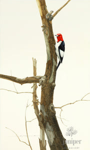 Red Headed Woodpecker (reproduction from original watercolor by Paul J Sweany)