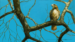 Red Tailed Hawk, Winter's Day, reproduction from original watercolor by Paul J Sweany