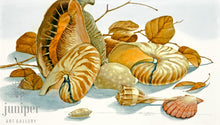 Shell Composition (reproduction from original watercolor by Paul J Sweany)