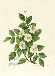 Wild Rose, White (reproduction from original watercolor by Paul J Sweany)