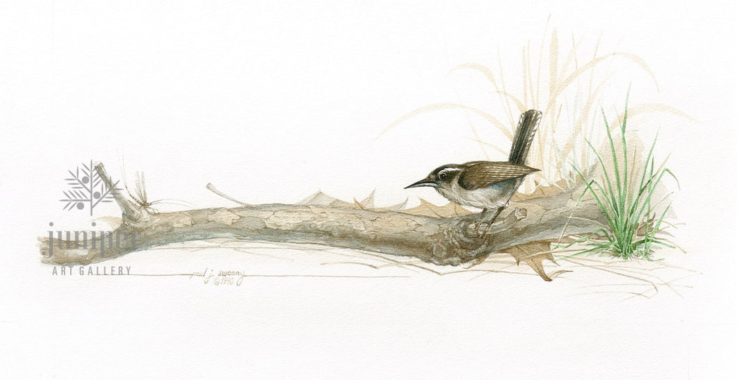 Canyon Wren, original watercolor by Paul J Sweany