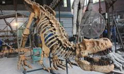 dinosaur skeleton replica-mcsdino