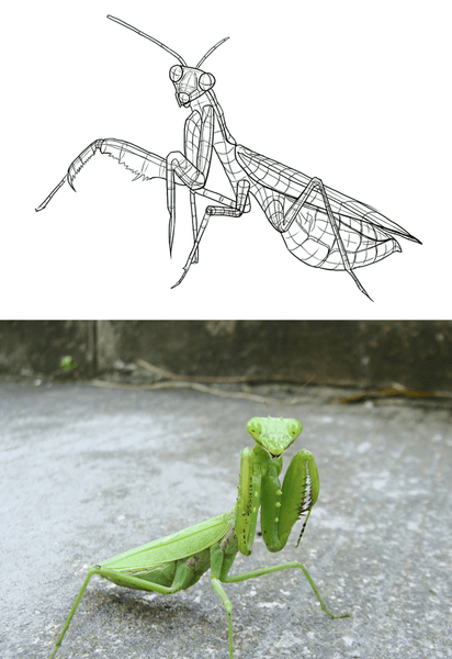 mantis sketches