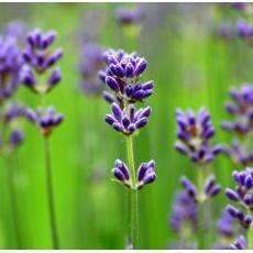 Uncommon Remedy Lavender Essential Oil (lavendula augustifolia) 10ml-remedy-Uncommon Remedy