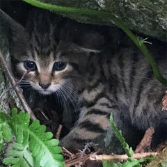 Adopt a Scottish Wildcat