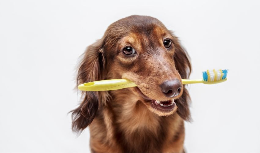 Clean Your Pet's Teeth at Home