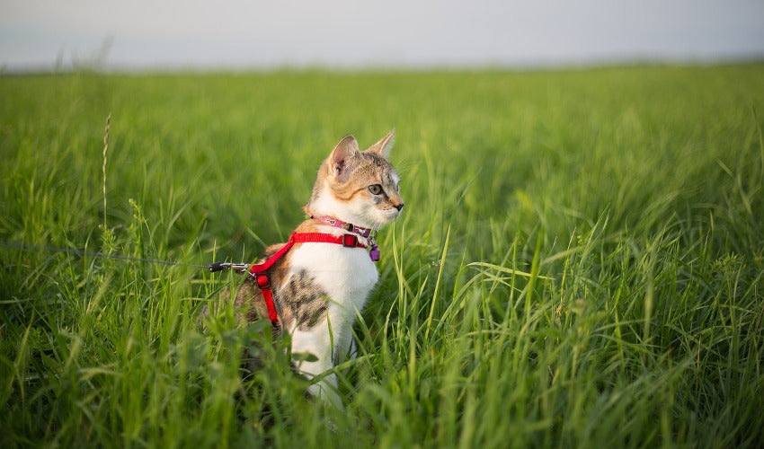 Cat Leash Training