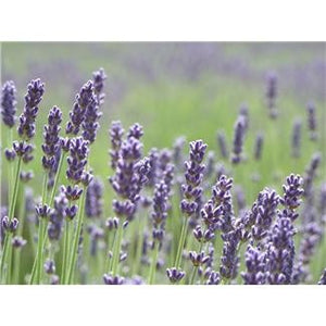 Lavender 16oz Winterblend Shea Butter Cream with Lavender or other Essential Oils - Great for Acne and Rosacea