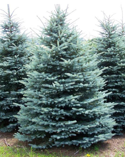 Colorado Blue Spruce (bundle of 25)